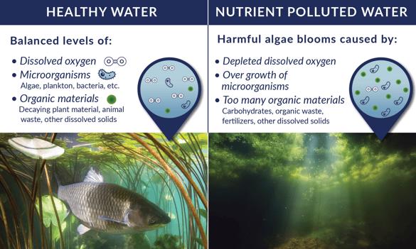 What causes harmful algae blooms
