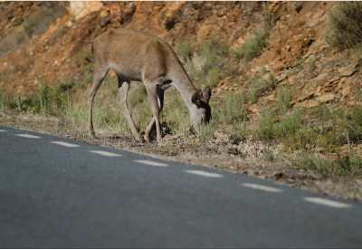 deer grazing on the side of the road