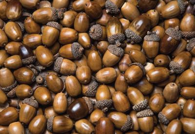 Large acorn harvest